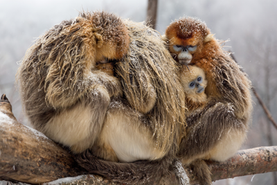 TaoTao the monkey's family huddling together for warmth